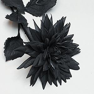 Cool Black Dahlia